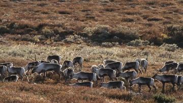 Wild mountain reindeer in Norway.