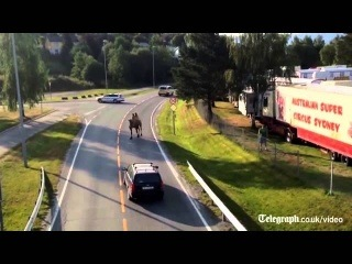 Camel Escapes Circus in Norway