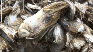Niezwykly Swiat - Norwegia - Sztokfisz