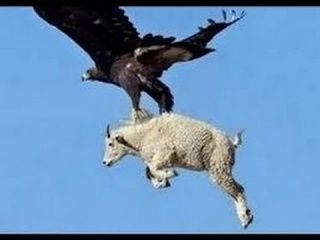 The Best of Eagle Attacks Caught on Video | Most Amazing Wild Animal Fights |