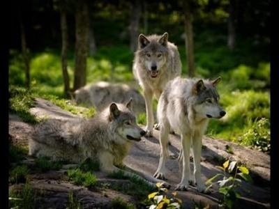 Tatrzańskie wilki rozszarpują dzika
