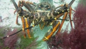 Crayfish Freediving Fiordland