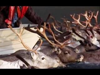 Arctic Reindeer river crossing - Human Planet - BBC