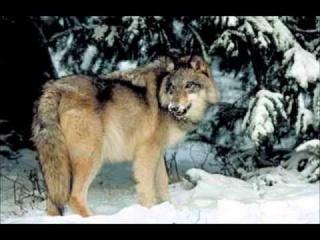 Norwegian Wolves